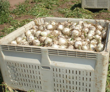 Large Crate of Onions
